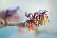Hamamelis x intermedia 'Jelena'  witch hazel Syn Hamamelis x intermedia 'Copper Beauty'  covered with frost in winter