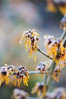 Hamamelis x intermedia 'Harry' AGM witch hazels covered with frost in winter