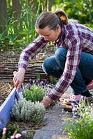 Woman planting Lavandula stoechas in bed.