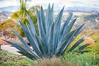 Agave americana. Debora Carl's garden, Encinitas, California, USA. August.