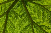Close up detail of a single large leaf of a Gunnera Manicata