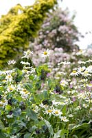 Cerinthe major 'Purpurescens' with Leucanthemum vulgare. Hillbark Garden, Yorkshire