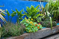 Detail of timber reclaimed sleeper bench in front of a raised bed with exotic foliage planting for exotic lok and culinary use. Nasturtium, sage, thyme, zantedeschia, phormium and chusan palm. Blue painted wall.