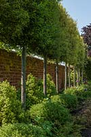 Garden wall with pleached Quercus ilex