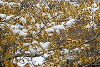 Hamamelis japonica 'Arborea' with snow