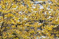 Detail of Hamamelis japonica 'Arborea' with snow
