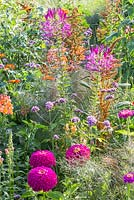 Detail of a colour schemed border with Amaranthus caudatus, Cleome spinosa, Foeniculum vulgare 'Rubrum', Tithonia rotundifolia, Verbena bonariensis and Zinnia