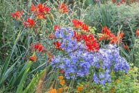 Detail of drought resistant plants containing Agapanthus, Asclepias tuberosa and Crocosmia 'Lucifer'
