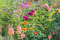 Detail of a colour schemed annual border with Cleome spinosa, Dahlia, Tithonia rotundifolia, Verbena bonariensis and Zinnia