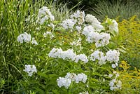 Detail of a mixed border with Miscanthus sinensis, Phlox paniculata and Solidago