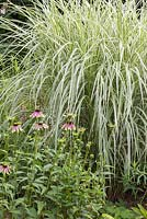 Detail of a mixed border with Miscanthus sinensis 'Variegatus'