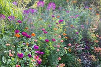 Detail of a colour schemed border with annuals. Plants are Antirrhinum, Cleome, Foeniculum vulgare, Tithonia rotundifolia and Zinnia