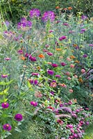 Detail of a colour schemed border with annuals. Plants are Cleome, Foeniculum vulgare, Pennisetum orientale, Tithonia rotundifolia and Zinnia