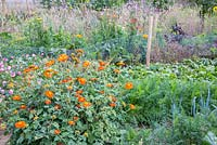 Detail of a flower and vegetable garden with carrots, beetroot, leek, Tithonia rotundifolia, Lavatera trimestris and Helichrysum bracteatum
