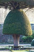 Topiary yew tree at Levens Hall.