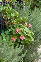 Plants growing through a fence, a Zonal Pelargonium - Pelargonium hortorum and a Lavender