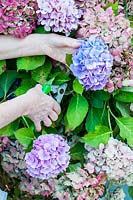 Making dried hydrangea bouquets - cutting flowers