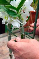 Staking a Dendrobium orchid grown in a pot