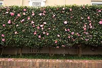 Camellia casanqua - A clipped Camellia hedge with single mid pink flowers, planted in a raised garden bed with an underplanting of Native Violet, Viola hederaceae.