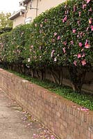 Camellia casanqua, A clipped Camellia hedge with single mid pink flowers, planted in a raised garden bed with an underplanting of Native Violet, Viola hederaceae.