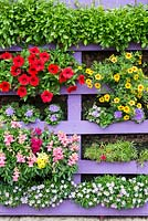 Reclaimed pallet, painted and vertically planted with Brachyscome 'Mint Mauve Delight', Portulaca 'Mixed', Lobelia 'Trailing Sapphire', Calibracoa 'Can Can Sunrise', Surphinia Petunia 'Deep Red', Ageratum 'Blue' and mixed Antirrhinum.