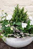 White winter container with erica, white violas and small conifer