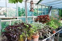 Greenhouse staging with pots containing a variety of plants - Coleus, Heuchera, Oxalis and Geranium. Southlands, NGS garden Lancashire.