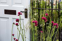 The Modern Slavery Garden, Cirsium Rivulare 'Atropurpureum' with door and railings behind. RHS Chelsea Flower Show 2016. Designer: Juliet Sargeant - Sponsor: The Modern Slavery Garden Campaign - Contractor: The Outdoor Room