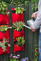 Man watering vertical hanging planters containing Thyme 'Lemon Variegated', Oregano, Basil Mint, Thyme 'Silver Posie' and Sage 'Garden Grey'