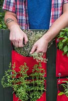 Man cutting Thyme 'Silver Posie' from a vertical planter on a balcony