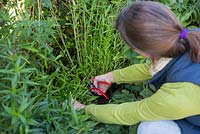 Cutting back Penstemon 'Sour Grapes' to near ground level