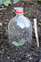 Courgette seedling under cloche made from soft drinks bottle