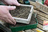 Gardener sieving compost on to seed tray, on greenhouse staging in early spring.