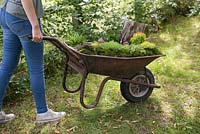 Miniature Wheelbarrow Garden. Girl pushing a wheelbarrow containing a miniature garden made with Moss, Conifers, decorative stones, seashells, animal and structural figurines