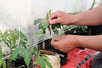 Training Tomato plants, gardener fixing string to support greenhouse tomatoes in growbags, note plants in bottomless pots placed in growbag to increase root run, Norfolk, England, Apri