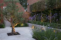 Overview of sandstone patio with uplight lighting, illuminating an Olive tree, pleached trees and patio wall.