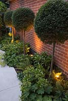 Sandstone path with uplight lighting on Buxus sempervirens lollipops underplanted with Alchemilla mollis