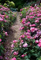 Rosa mundi 'Versicolor' lining gravel path edge