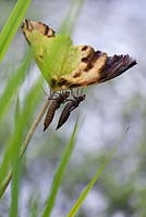 Empty skins of newly emerged dragonflies on pond plant stem
