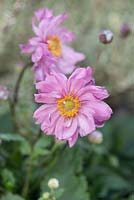 Anemone hupehensis 'Pretty Lady Emily' - japanese windflower