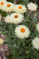 Xerochrysum bracteatum, 'Cockatoo', large pale yellow daisy like flowers with bright orange centres.