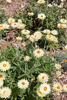Xerochrysum bracteatum 'Cockatoo', large pale yellow daisy like flowers with bright orange centres.