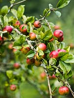 Malus 'Brown's Apple' - a cider variety