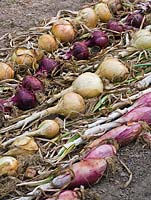 Harvested onions laid on ground to dry - 'Long Red of Florence', 'Ailsa Craig', 'Kamal', 'Yellow Rynsburger'