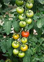 Tomato 'Shirley - trusses of ripening fruits in greenhouse