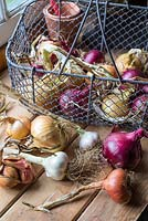 Selection of garden produce, garlic - 'Cristo', Onion 'Red Baron', Onion 'Stuttgarter' and Shallot 'Red Sun'.