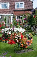 Decorative bicycle holding pots with Begonia on lawn and colourful mixed beds filled with perennials, Rosa, Clematis and tender bedding plants in small suburban back garden.