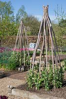 Hazel stakes used in a Potager to support Sweet Peas