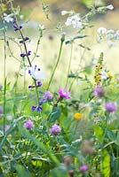 Wildflower meadow: Trifolium pratense, Centaurea jacea brown knapweed, Leucanthemum vulgare - ox-eye daisy, Salvia pratensis, Verbascum nigrum - Dark Mullein