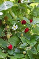 Fragaria vesca - Alpine Strawberry ready for harvesting